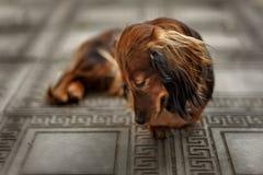 Longhair dachshund puppy lying down Stock Photography