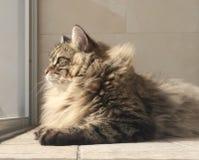 Longhair katt, päls- kattunge Royaltyfri Foto