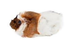 Longhair królik doświadczalny Nad bielem Obraz Royalty Free