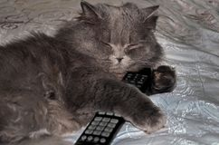 Longhair szary dużego kota lying on the beach na łóżku z pilotem do tv Kot oglądał TV i spadał uśpiony pilot do tv miękka ostrość obrazy royalty free