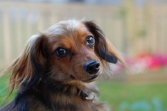 Longhaird Dachshund. Longhair female Dachshund / Chiwawa cross Royalty Free Stock Images