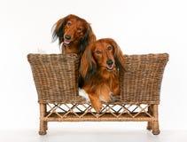 2 longhaired собаки таксы в софе собаки Стоковая Фотография