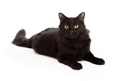 Longhaired Black Cat Laying Looking Into The Camera Royalty Free Stock Photos