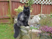 LONGHAIRED BLACK SMOKE MAINECOON Stock Image