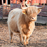 Longhaired bull full-length view Stock Photos