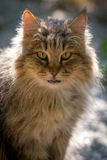 Longhaired cat Royalty Free Stock Photo