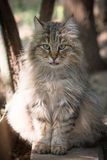 Longhaired cat Stock Photos
