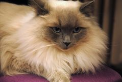 Longhaired cat with gray-blue eyes. Longhaired creamy cat with gray-blue eyes lying on a chair Royalty Free Stock Photo