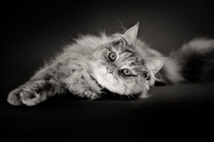 Longhaired cat lying on black backdrop Stock Photos