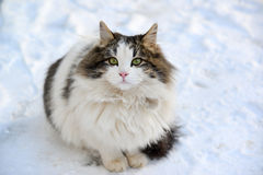 Longhaired cat sitting on the snow Royalty Free Stock Photos