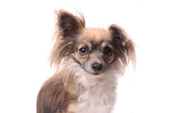 Longhaired chihuahua Royalty Free Stock Image