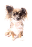 Longhaired chihuahua Royalty Free Stock Photos