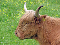 Longhaired cow, Slovenia Stock Images