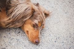 Longhaired Dapple Doxie or Dapple Dachshund Napping Outside. Longhaired dachshund, also known as dapple dachshund or `dapple doxie`, laying on concrete. Dog has royalty free stock image