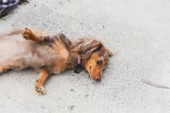 Longhaired Dapple Doxie or Dapple Dachshund Stretching. Longhaired dachshund, also known as dapple dachshund or `dapple doxie`, laying down outside with paws stock images