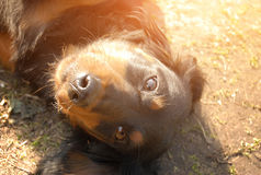 Longhaired dachshund basking in the sun Royalty Free Stock Photography