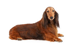 Longhaired Dachshund Dog Laying Over White Royalty Free Stock Photo