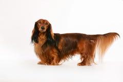 Longhaired dachshund dog Stock Photo