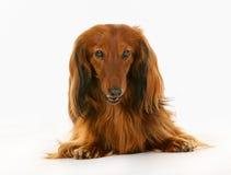 Longhaired dachshund dog Stock Photos