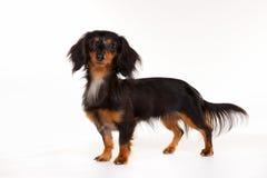 Longhaired dachshund dog Royalty Free Stock Photo