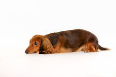 Longhaired dachshund dog Stock Photography