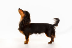 Longhaired dachshund dog Royalty Free Stock Photos