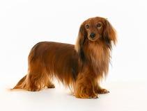 Longhaired dachshund dog Stock Image