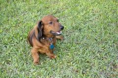 Longhaired dachshund  on grass Stock Photos