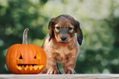 Dachshund puppy posing with a carved pumpkin outdoors. Longhaired dachshund puppy outdoors with a pumpkin stock images