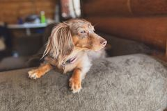 Longhaired Dapple Dachshund, Dapple Doxie, Miniatrure Dachshund. Miniature dapple dachshund with long fur sitting on a couch and looking outside. Dog is waiting royalty free stock photography
