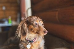 Longhaired Dapple Dachshund, Dapple Doxie, Miniatrure Dachshund. Miniature dapple dachshund with long fur sitting on a couch and looking outside. Dog is waiting stock images