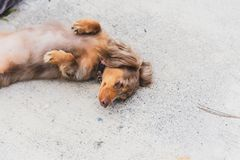 Longhaired Dapple Doxie or Dapple Dachshund in Cute Pose. Longhaired dapple dachshund laying on the ground with paws up. Dog has multiple shades of brown fur stock image