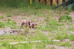 Longhaired Dapple Doxie or Dapple Dachshund in Grass. Longhaired miniature dachshund walking through patches of green grass on a summer day. Miniature weiner dog stock image