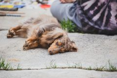 Longhaired Dapple Doxie or Dapple Dachshund Napping Outside. Longhaired dachshund, also known as dapple dachshund or `dapple doxie`, laying on concrete near a royalty free stock image