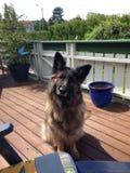 Longhaired german shepherd Royalty Free Stock Photo