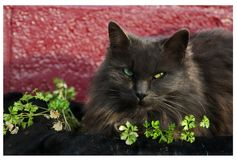 Blue-gray Persian cat suns herself amidst herbs in a planter. A longhaired grey cat snuggles into an herb planter on a sunny but cold day. Her whiskers and pale Stock Images
