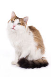 Longhaired housecat Stock Images