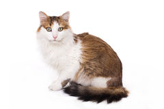 Longhaired housecat Stock Photography