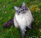 Longhaired pedigree Ragdoll cat portrait. Longhaired cat looking up at camera with big blue eyes while sitting on grass in a garden Stock Photos