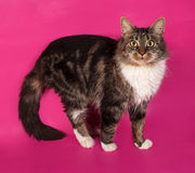 Longhaired tabby and white cat standing on pink Royalty Free Stock Images