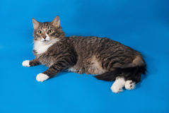 Longhaired tabby and white kitten lying on blue Royalty Free Stock Images