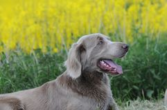 Longhaired Weimaraner Stock Photo