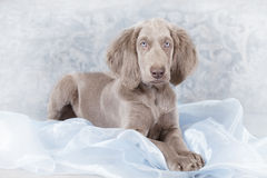 Longhaired Weimaraner puppy Stock Photo