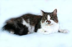 Longhaired witte kat met vlekken die op grijs liggen Stock Afbeelding