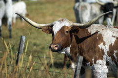 Longhorn Royalty Free Stock Photo