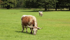 Longhorn Stock Images