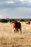 Longhorn Imagem de Stock