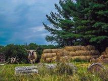 longhorn Fotos de archivo libres de regalías