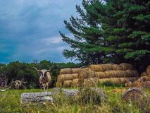 longhorn Lizenzfreie Stockfotos