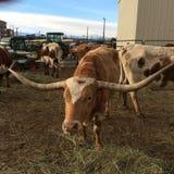 longhorn Fotografia de Stock Royalty Free